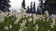 Spray Park Mt. Rainier (hawgfuel) Tags: spray park mt rainier avalanche lillies flowers