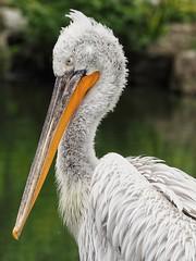 Ich bin nicht Sauer ich gucke immer So (rollirob) Tags: pelikan wasservögel wasser afrika raubvögel olympus75300mm olympusomdem5markll