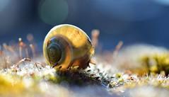 Slowly, slowly (Anabelle67) Tags: france snail escargot naturebynikon nature fantasticnature natural nikon nikond5300 macroworld macrophoto macrophotographie macrodream macro micronikkor40mm nikkor magnifique colorful photographie macroinsects