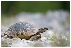 Testudo hermanni boettgeri (Thor Hakonsen) Tags: montenegro testudohermanniboettgeri easternhermannstortoise tortoise skilpadde landskilpadde turtle reptile budva petrovac