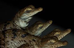American Crocodiles (Nick Scobel) Tags: american crocodile crocodilian crocodylus acutus florida everglades estuary conservation dinosaur threatened endangered species saltwater mangrove