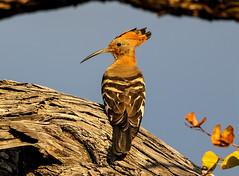 180A4508.jpg (donnatopham) Tags: botswana hoopoe campxanakaxa