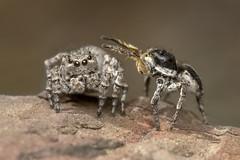 The hypnotist (Tom Rop) Tags: aelurillus vinsignitus spider araignée jumping sauteuse salticidae saltique arachnide araneomorphae araneae arachnida animal macro nature canon 600d sigma 105mm