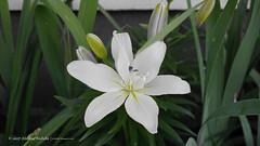 DSC00668 (Aldona Induła) Tags: sony a6000 bezedycji flower garden kwiat notedited ogród prostozaparatu straightfromthecamera