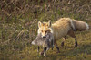 Passing By (Dan King Alaskan Photography) Tags: redfox fox predator prey prudhoebay alaska goose canon50d sigma150500mm