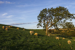 Low Sunlight over Grazing Sheep (THE NUTTY PHOTOGRAPHER) Tags: sheep grazing northyorkshire lowsunlight lonetree shadows