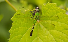 2U7A3155 (rpealit) Tags: scenery wildlife nature kittatinny valley state park female common pondhawk eating robber fly dragonfly