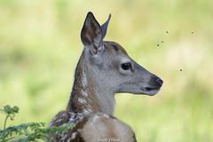 Endeering ;-) (Ralph J Clark) Tags: reddeer calf summer bushypark nikon200500mmf56