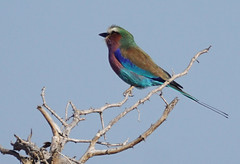 """Balule Game Reserve - Greater Kruger National Park - Limpopo South Africa - Lilac-breasted roller (Coracias caudatus) (Julia Kostecka) Tags: lilacbreastedroller coraciascaudatus """"balulegamereserve"""" """"greaterkrugernationalpark"""" limpopo """"southafrica"""" """"sausagetreesafaricamp"""" animals wildlife safari africa """"gamedrive"""" birds ornithology"""
