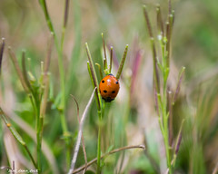 Descending Down (that_damn_duck) Tags: nature grass weeds ladybug