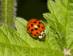Harlequin Ladybird (Harmonia axyridis) (2) (wayne.withers1970 (Not on much now 'cos of work)) Tags: flickr harlequin ladybird orange red green spots grass meadows hedgerows nature outdoors wildlife bright leaf countryside