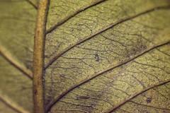 Dry Leaf (Rifat J. Eusufzai) Tags: macro closeup nikon d7100 50mm extention tubes 3parts dhaka leaf leaves dry bangladesh