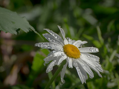 White Flower,s Matter. (Omygodtom) Tags: flower flickr daisy white green yellow bokeh bright brown raindrop downtown america leica natural nikkor nature nikon dof d7100 digital contrast texture nikon70300mmvrlens garden