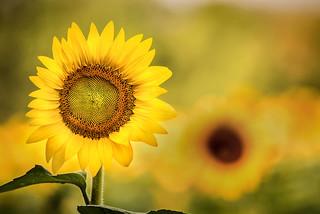 Sunflower in a Field 3-0 F LR 7-22-17 J082