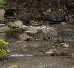 IMG_0204 (zamo86) Tags: nature decew falls niagara st catharines ontario waterfall bird crane