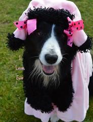 DSC_2573 (2) (ASHA THE BORDER COLLiE) Tags: ashathstarofcountydown ewe border collie funny dog pics