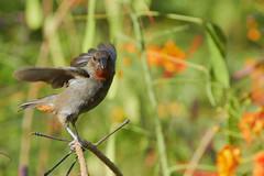 Lesser Antillean Bullfinch (ronmcmanus1) Tags: antigua bird nature outdoors wildlife jollyharbour stmarysparish antiguabarbuda