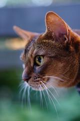 Watching (DizzieMizzieLizzie) Tags: abyssinian aby beautiful wonderful lizzie dizziemizzielizzie portrait cat chats feline gato gatto katt katze katzen kot meow mirrorless pisica sony a6500 animal pet 2017