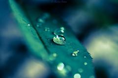 Sliders Sunday:) (martinap.1) Tags: d3300 drops droplets drop nikon nature nikond3300 natur nikon40mmmacro green grün bokeh b sliderssunday hss macro makro wassertropfen wasser blatt leaf