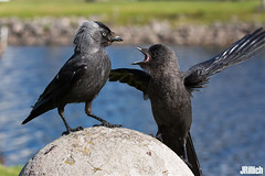 western jackdaw, Dohle, Corvus monedula @ Sweden 2017 (Jan Rillich) Tags: schweden sverige sweden summer sommer sommar juli july 2017 rillich janrillich canon canon5d jan photo foto picture photography fotografie eos digital wildlife animal nature beautiful beauty sunny sun fauna flora free animalphotography image westernjackdaw eurasianjackdaw europeanjackdaw jackdaw passerinebird bird crow corvusmonedula dohle singvogel rabenvögel corvidae krähen feeding maternalcare pubertant offspring nachwuchs chick küken fledgling chicks hatchling chicklet fledglings chicken insatiable voracious unersättlich insatiably insatiate insatiately everhungry