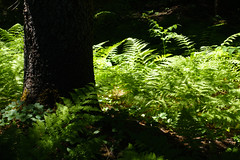 trillium lake family hike (dolanh) Tags: hiking mthoodwilderness ferns oregon forest trilliumlake