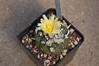 Copiapoa humilis (douneika) Tags: copiapoa humilis taxonomy:family=cactaceae taxonomy:binomial=copiapoahumilis