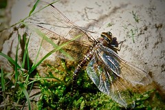 Dragonfly Laying Eggs in Mountain Pond, Edwards, Colorado (Ginger H Robinson) Tags: dragonfly insect laying eggs twopairs wings vtol skillful agile flight mountain pond rockymountains colorado summer macro