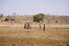 Baobab (CIFOR) Tags: africa dry people environmentalimpact cifor reforestation trees burkinafaso dryforests baobab loagavillage livingconditions communityforestry climatechange livelihoods horizontal human humanbeing humanbeings humans person boulkiemdé centreouest bf