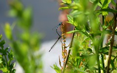 Damselflies (careth@2012) Tags: