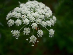 like a firework (murozo) Tags: 花 人参 虫 庭 白 緑 flower carrot white insect green garden
