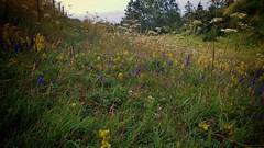 Summer meadow (catha.li) Tags: lgg4 sweden skåne österlen soe naturewatcher flower summermeadow meadow