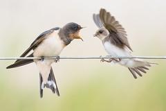 Barn Swallow v's Sandmartin! (ToriAndrewsPhotography) Tags: barn swallow sandmartin fight wires open beak east lane suffolk photography andrews tori