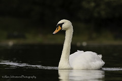 Mute Appeal (ajp~) Tags: inverleithpark edinburgh scotland pond park muteswan swan waterfowl bird wildlife nature reflections lowangle bokeh water canon 6d canon70300mmf456l alanjohnstone
