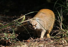 Yellow Mongoose (8) (Explored) (Richard Collier - Wildlife and Travel Photography) Tags: wildlife naturalhistory mammals southernafrica southafrica yellow mongoose africawildlife