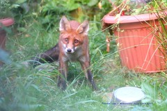 The Young and The Restless........... (law_keven) Tags: foxes fox redfox foxcub catford london england uk gardens urbanfox