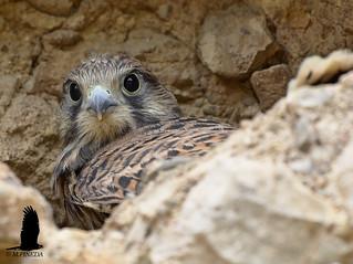 Cernícalo vulgar- Xoriguer comú - (Falco tinnunculus)