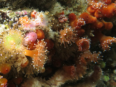 Underwater jewelry (roger_forster) Tags: corynactisviridis jewelanemone handdeeps englishchannel cornwall plymouth maidmaggie2 diving scuba underwater cnidaria