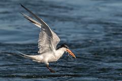 Double catch! (bodro) Tags: bolsachica eleganttern anchovy bird birdfishing birdinflight birdphotography droplets ecologicalreserve fish shallows tern tinyfish wetlands wingsup