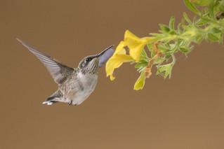 Ruby- throated Hummingbird Juvenile