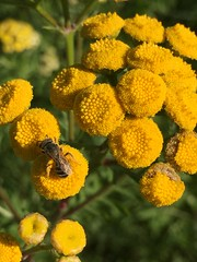 yellow season (wendy flanigan) Tags: countyfarmpark tansy