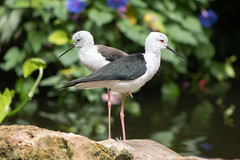 Pair of black-winged stilt (Himantopus himantopus) (Ian Redding) Tags: asia british european himantopushimantopus recurvirostridae uk animal bird birds blackwingedstilt commonstilt fauna longlegged nature pair piedstilt stilts wader wading wildlife