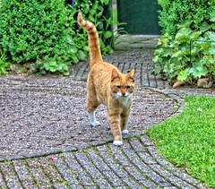 Toon (Steenvoorde Leen - 4 ml views) Tags: 2017 utrechtseheuvelrug doorn gatta pussy puss cat kat poes jong young katze chat minou mieze pussycat gata gato