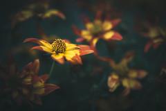 Darkness calls (--StadtKind--) Tags: stadtkind macro nature naturephotography macrophotography primelens sonyfe2890macrogoss sonyilce7m2 teamsony alphaddicted sonyalpha depthoffield dof bokehaddicts bokeh fleur flower