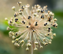 allum seeds (marianna_a.) Tags: allum seeds seed head macro burst texture