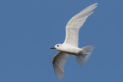 White Tern (Gygis alba) (s_uddin59) Tags: whitetern gygis alba gygisalba seabird bird birdinflight bif tern punahou punahouschool oahu hawaii feather nature wildlife sky freedom animal makiki wild
