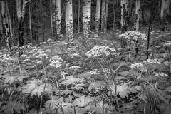 Lush... (Peter Weckesser) Tags: vegetation colorado blackwhite trees flowers plants forest bw monochrome