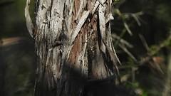 Sound cicade (Geminiature Nature+Landscape Photography Mallorca) Tags: cicada cicade sound mallorca movie pelicula film auchenorrhyncha cicadidae zangcicaden cicádidos cigarras chicharras coyuyos chiquilichis tococos insects insekten insectos ruido lawaai sonido geluid zang canta zingen song cantar