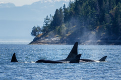 A pod of transient Orcas near Campbell River, BC. (Anne McKinnell) Tags: orcinusorca britishcolumbia campbellriver canada georgiastrait killerwhale ocean orca pacific sutilchannel vancouverisland whale