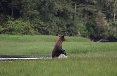 Grizzly Bear standing up in estuary with water running off (Paul Cottis) Tags: grizzly brown bear mammal greatbearrainforest greatbearlodge smithinlet paulcottis 29 may 2017