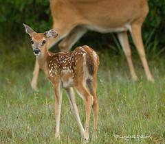 Fawn (Lindell Dillon) Tags: fawn whitetail deer nature oklahoma lindelldillon
